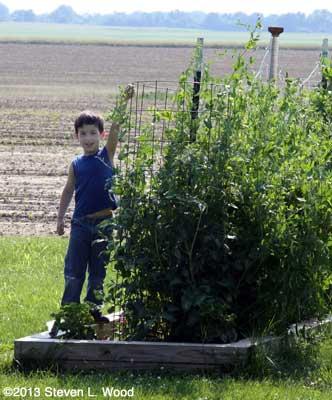 Brady picking peas