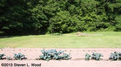 Mowed alfalfa area