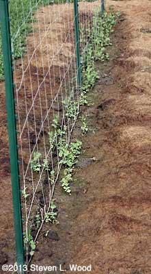 Spotty sugar snap germination