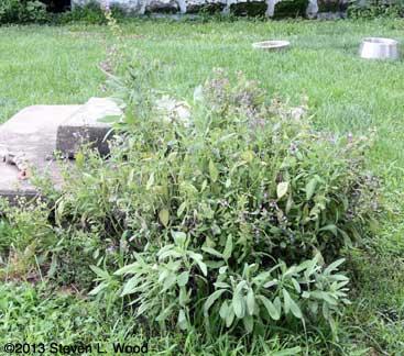 Trimmed sage plant