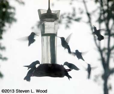 Swarm of hummingbirds