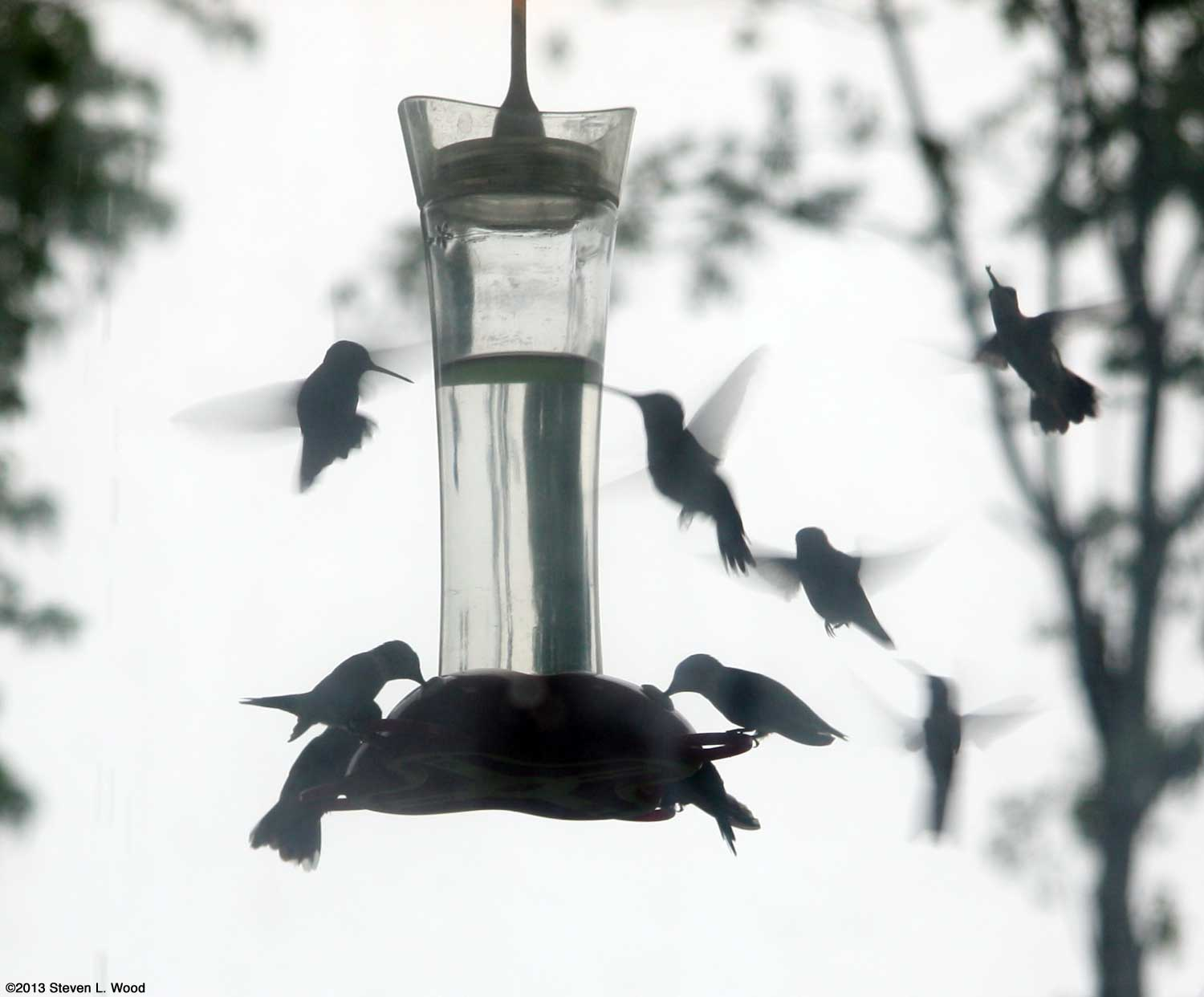 Hummingbirds swarming at feeder