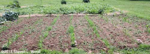 Tilled corn patch