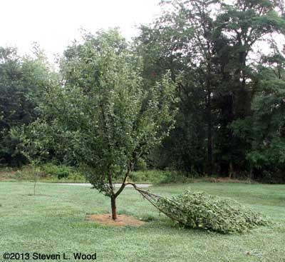 apple tree damaged