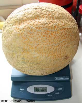 Ten Pound Cantaloupe