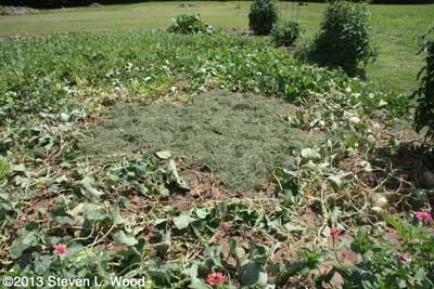 Melon patch