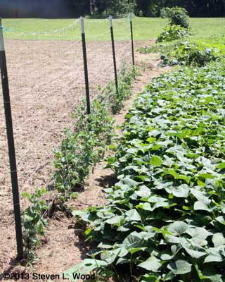 Eclipse Pea Seed Crop row