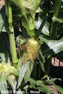 Silking sweet corn