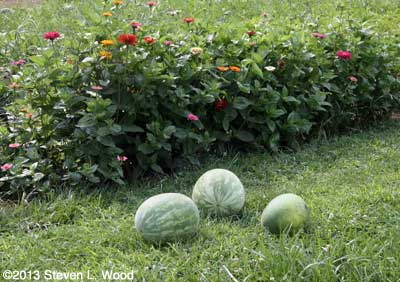 Zinnias and watermelon