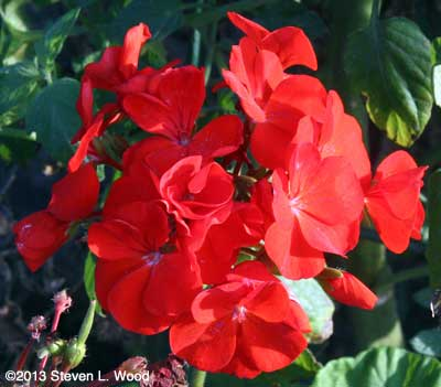 Maverick Red seed geranium