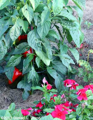 Ace pepper plant