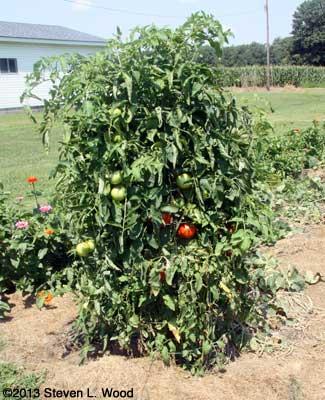 Moira tomato plant