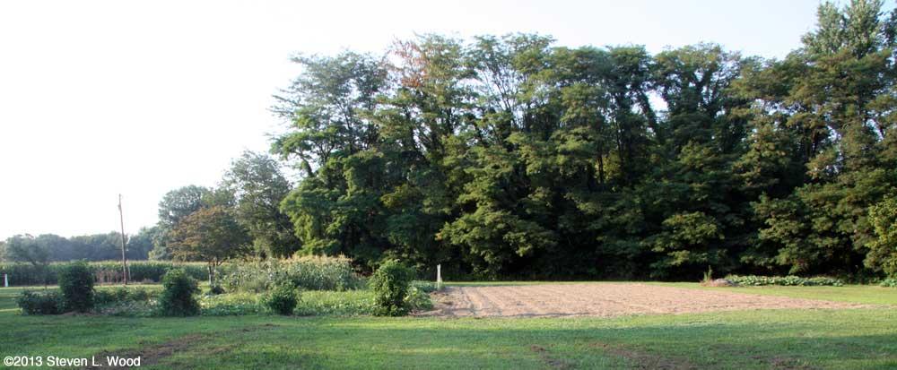 Buckwheat planted