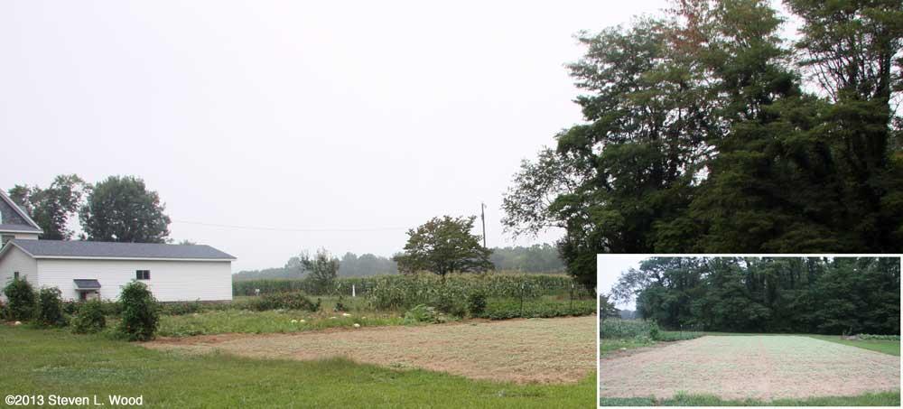 Buckwheat germinating