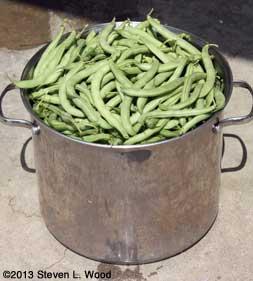 Twelve quarts of beans soaking