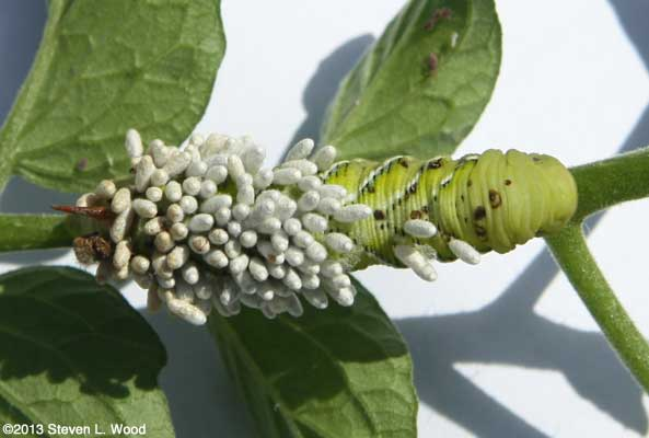 Parasitized hornworm