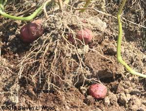 Sangre potatoes