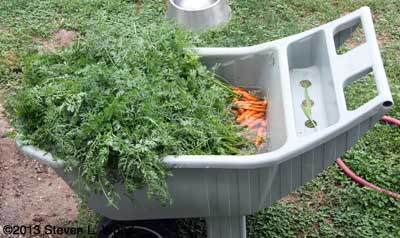 Soaking carrots