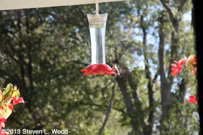 Hummingbird at feeder Oct. 6