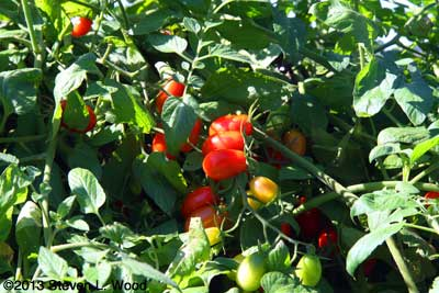 Red Candy grape tomato plant