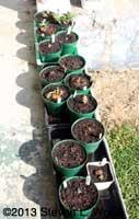 Gloxinias on Porch