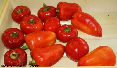 Very ripe Alma (left) and Feher Ozon (right) paprika peppers