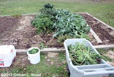 Picking kale