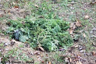 Kale stalks fill hole