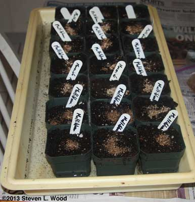 Sprouted geranium seed potted