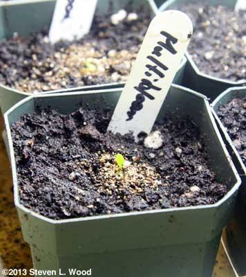 Sprouted geranium
