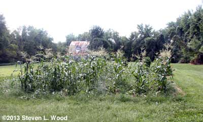 Weedy sweet corn patch