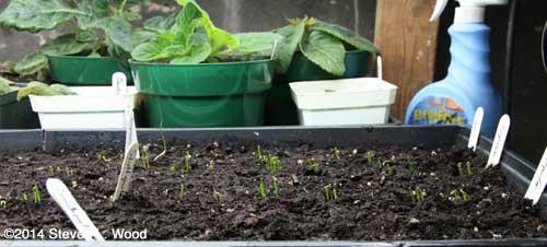 Onions emerging