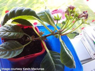 Gloxinia from flower stem cutting