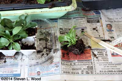 Plant removed with soil from egg carton