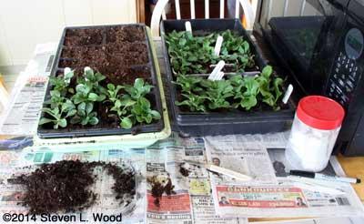 Transplanting (uppotting) petunias