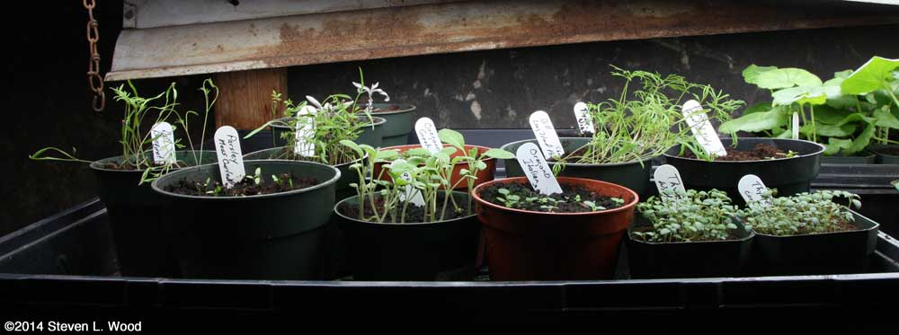 Herb plants ready for transplanting