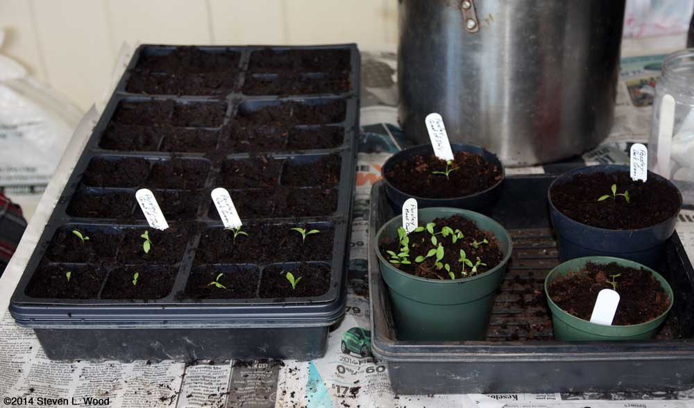 Transplanting parsley and seeding flowers
