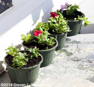Petunias in sheltered area