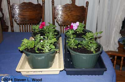 Petunias on dining room table