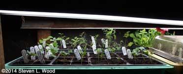 Brassica tray