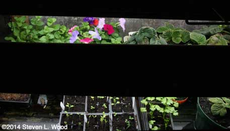 Petunias on bottom shelf
