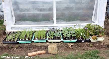 Plants under cold frame