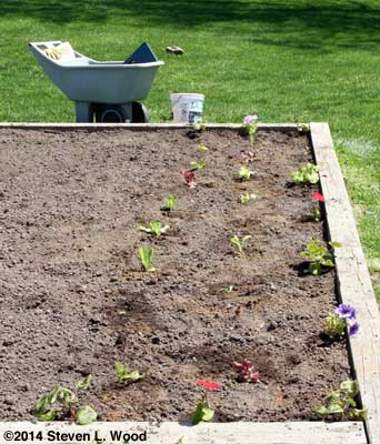 Spinach and lettuce planting