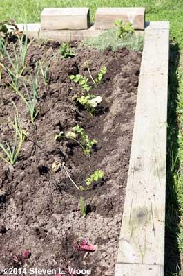 Transplanted celery