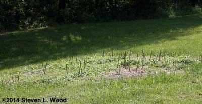 Bonnie's Asparagus patch