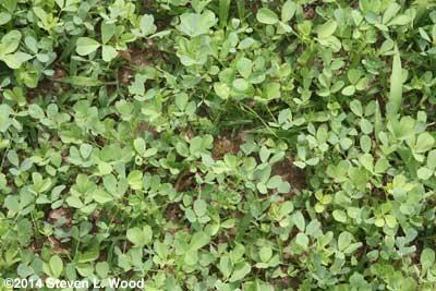 Closeup of alfalfa