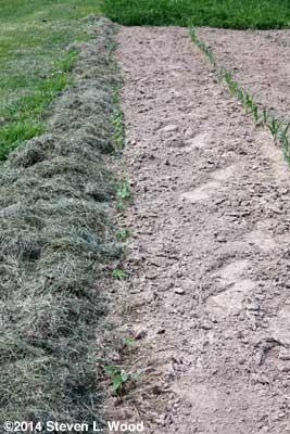 Nasturtiums mulched