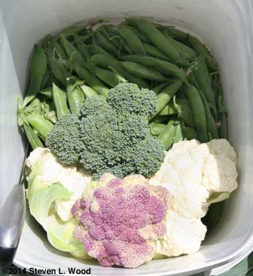 Peas, cauliflower, and broccoli in bucket