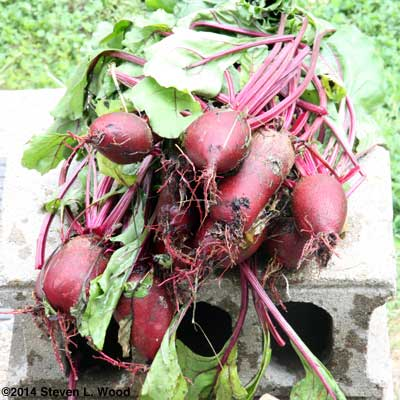 Oversize beets