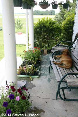 Porch plants, transplants, and Daisy